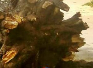 В Новочеркасске массово падают деревья
