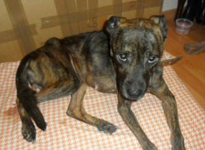 Истощенную умирающую собаку нашла женщина в Новочеркасске