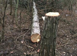 Неизвестные варварски спилили сосны в Агролесе в Новочеркасске