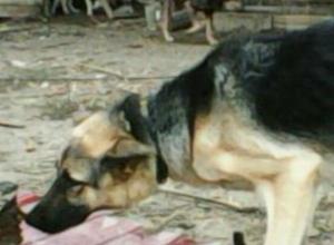 Служебных собак из питомника под Новочеркасском вытеснили дворняги