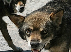 Зубастые охранники Азовского рынка наводят ужас на новочеркасцев