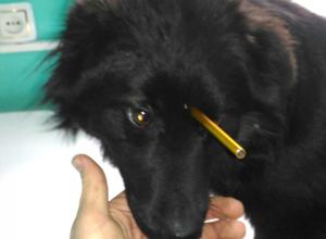 Бездомного пса с арбалетным дротиком в голове успешно прооперировали в Новочеркасске