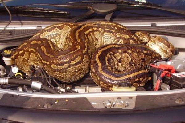 В Новочеркасске змея оккупировала пассажирское сидение авто