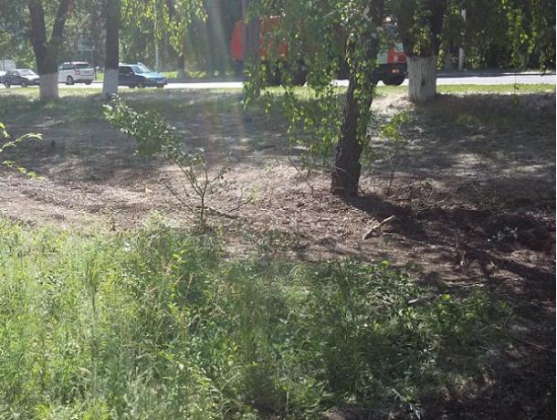 В Новочеркасске нашли «убийцу деревьев»