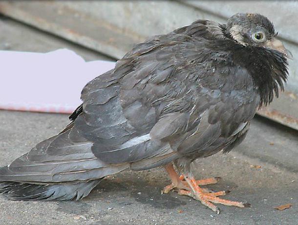 Гибель птиц от орнитоза зафиксирована недалеко от Новочеркасска