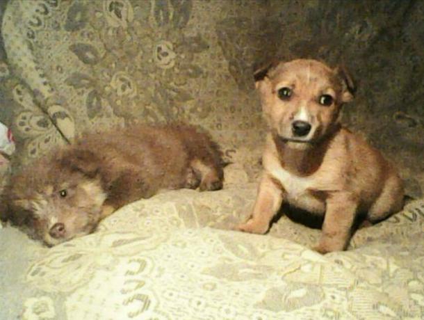 Собачка по имени Фея и два ее малыша нуждаются в помощи в Новочеркасске