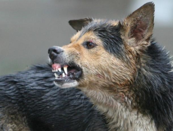 В Новочеркасске агрессивный бродячий пес снова набросился на ребенка