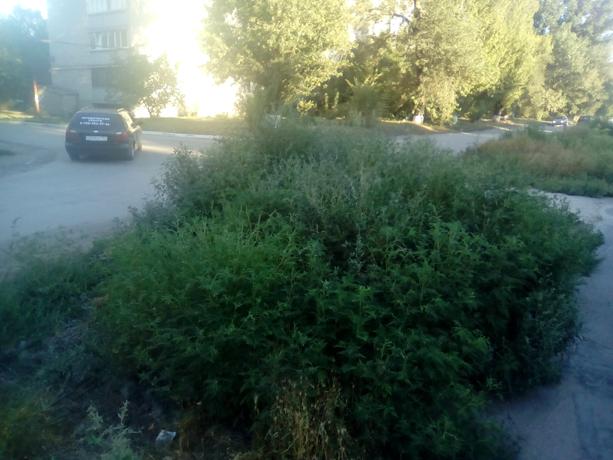 Аллергенная амброзия в рост человека заполонила новочеркасский микрорайон Октябрьский