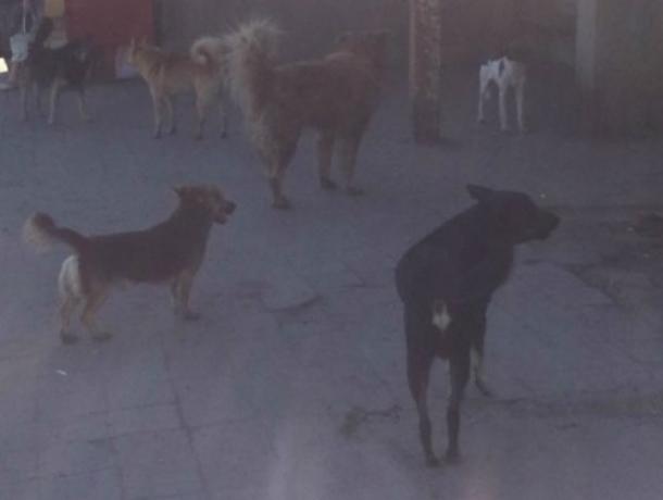 Администрация Новочеркасска рассказала, как в городе ведут борьбу с бездомными собаками